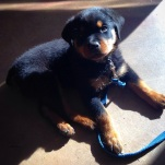 8 week old Rottweiler Sheamus taking a break during his Puppy Preschool class.