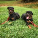 Long down stay request with Rotties Buck and Sophia.