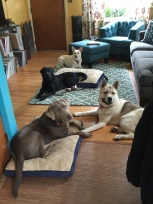 House manners in the Kabler living room with Daisy and Residency guests Cato, Taku and Ollie.