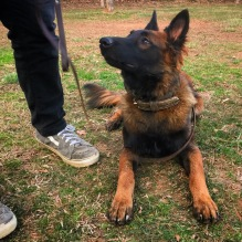 Belgian Malinois Fury practicing a down stay.