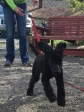 14 week old Standard Poodle Ruby excited while practicing a come request.