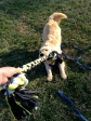 Merlin being rewarded with an ultra fun game of tug.