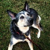 Cattle Dog Bindi practicing her down and stay request while waiting for a reward.