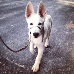 German Shepherd pup, Tundra, practicing his leash walking skills. Look at those ears!