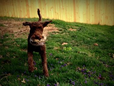 Truffles having a fun game of retrieve in the Kabler yard during his Residency course.