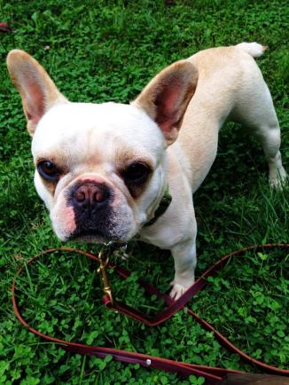 French Bulldog Dilly had an amazing Kabler Residency with fabulous results.