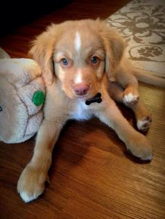 Reagan is a perfect puppy-- found through the Kabler Breed Search.