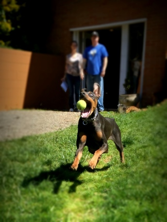 Doberman Lucy having a retrieve after obedience.