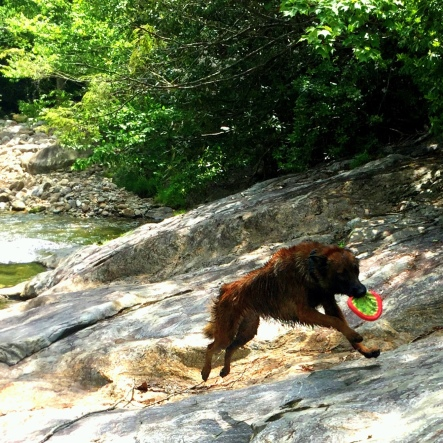 Fury racing back to me from the swimming hole with his frisbee during a successful retrieve.