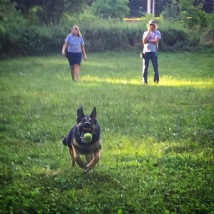 German Shepherd Leo playing a seriously fun game of retrieve during an off leash session.