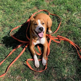 boxer_mix_dog_obedience_training_asheville_sydney