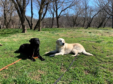 Labrador Retrievers Jackson and Harper practicing their long down stay during an advanced Off Leash Training Session.